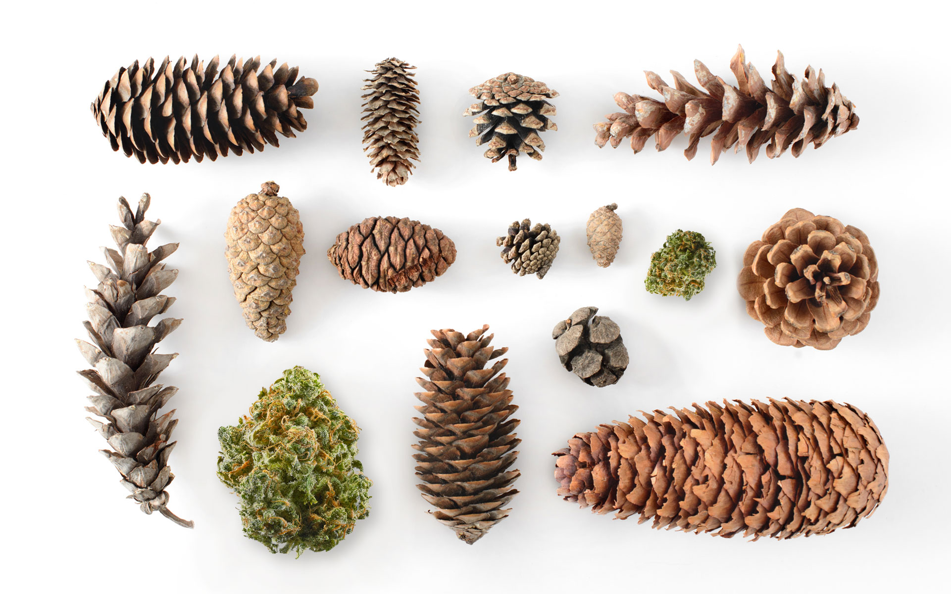 6 Cannabis Strains for People Who Love Pine Terpenes