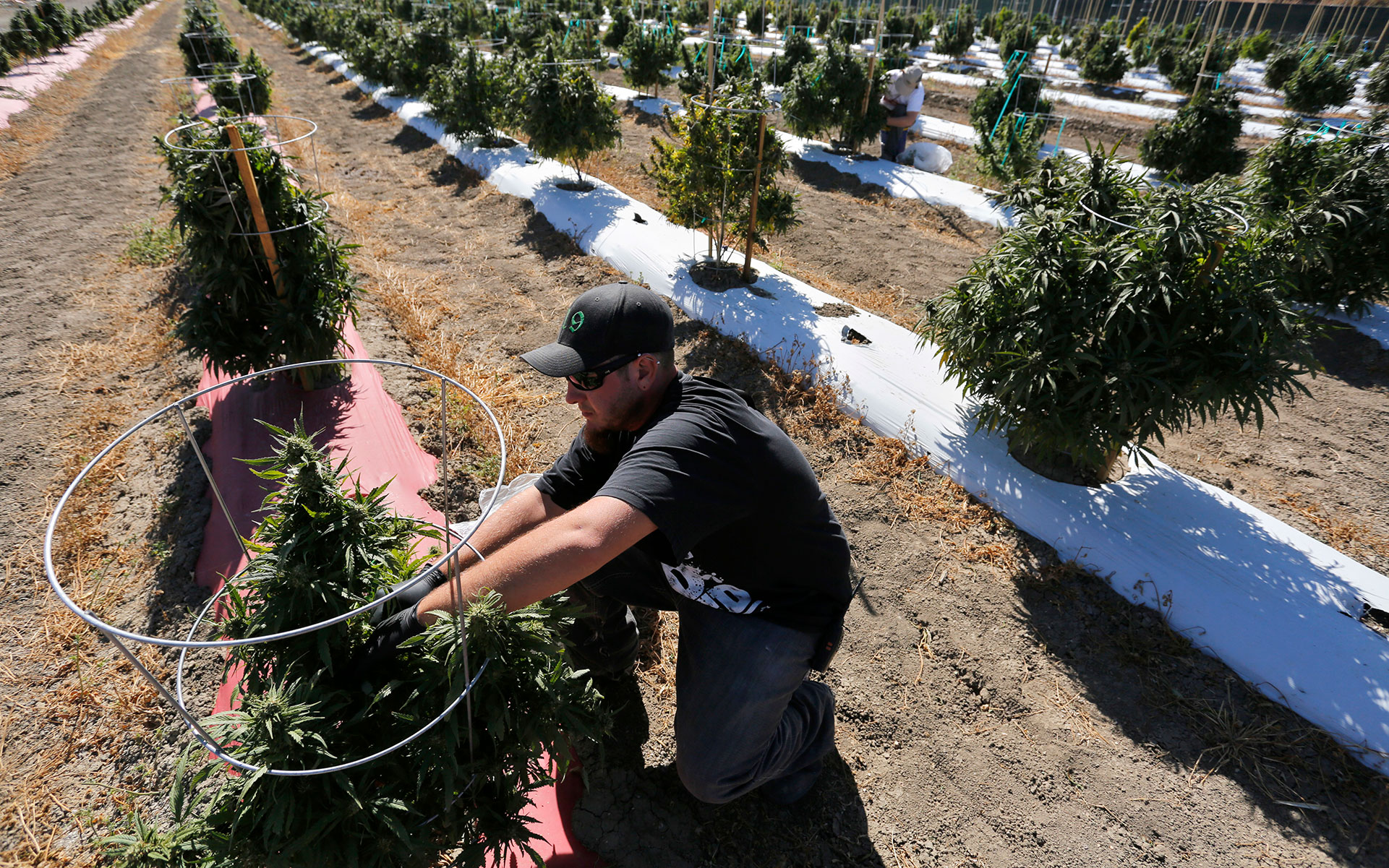 Prices are up on strong demand and limited supplies in the legal cannabis markets this harvest season. In a 2016 photo, a southern Colorado farmworker helps prepare a five-ton harvest on 36 acres. (Brennan Linsley/AP)