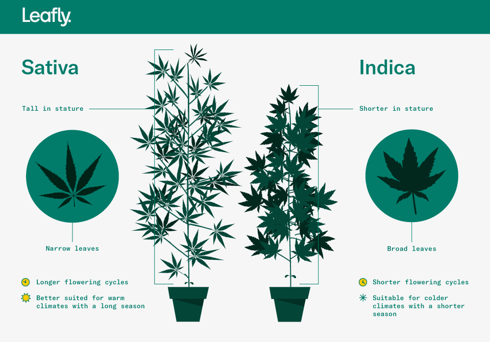 indica vs sativa vs hybrid marijuana plants