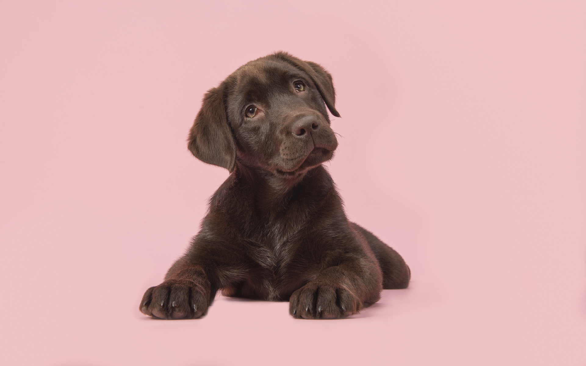 Cannabis topicals for pets; Brown labrador puppy lying down on a pink background