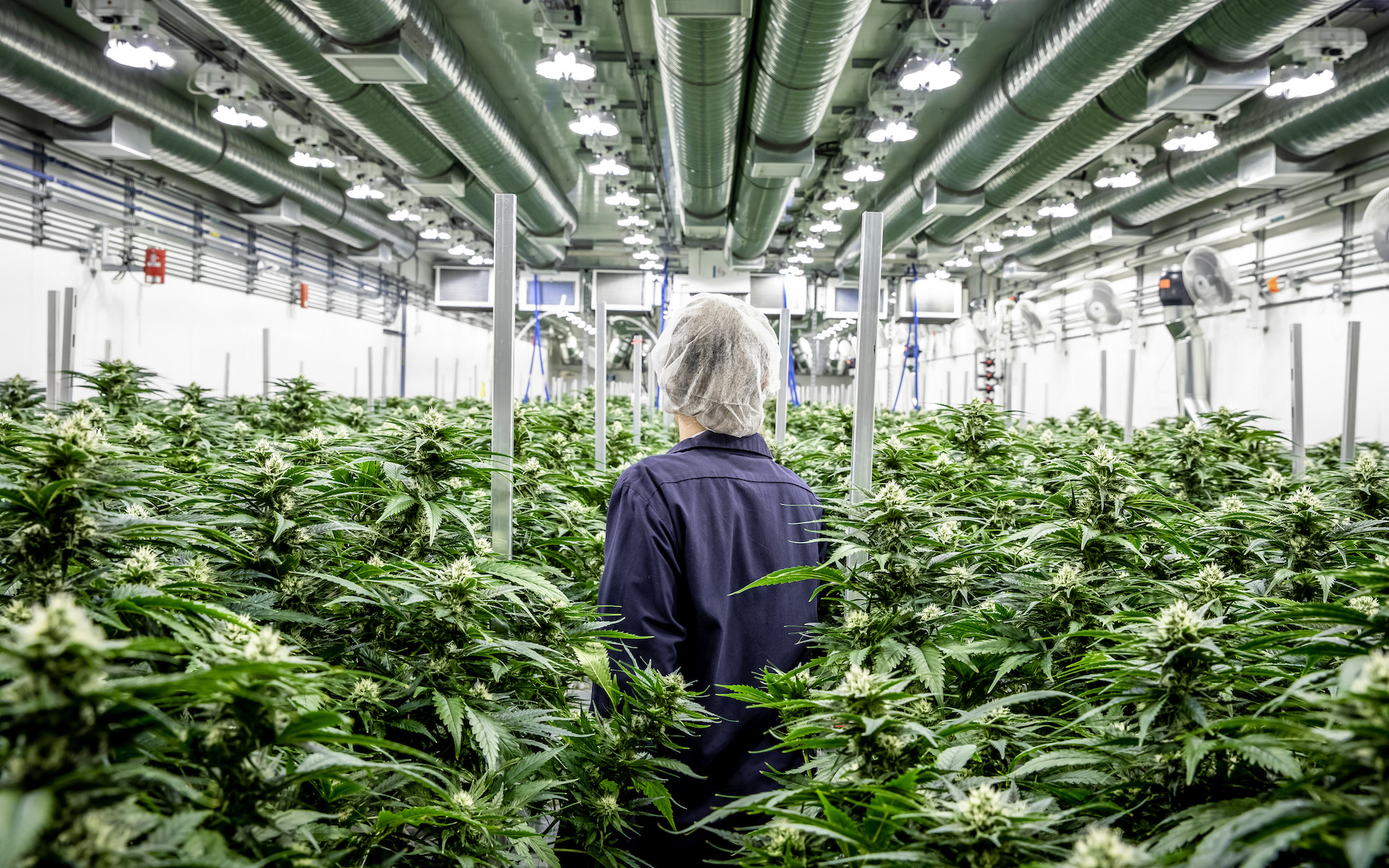 Top Leaf Master Grower in cannabis growing facility alberta