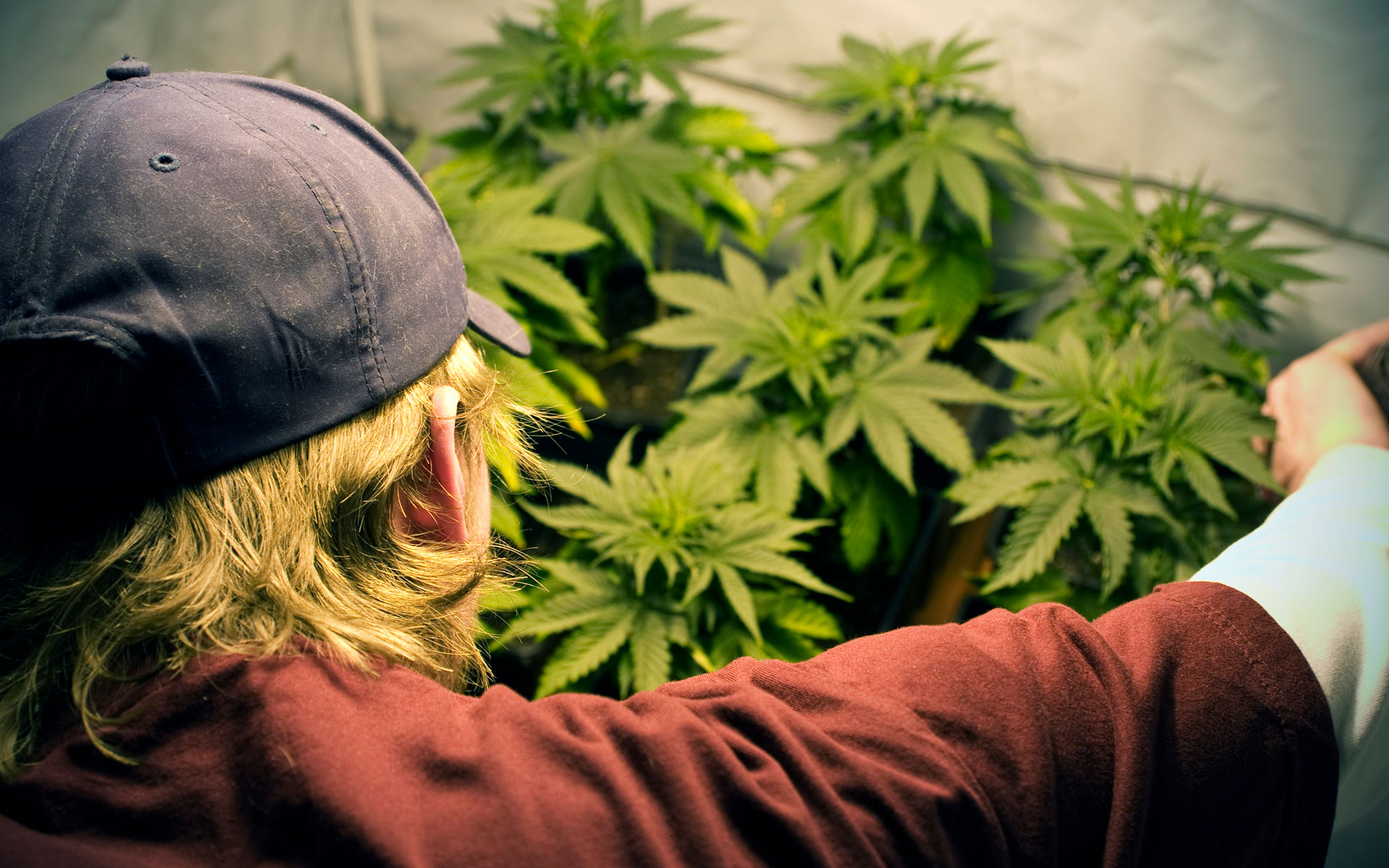 cannabis grower in a hat