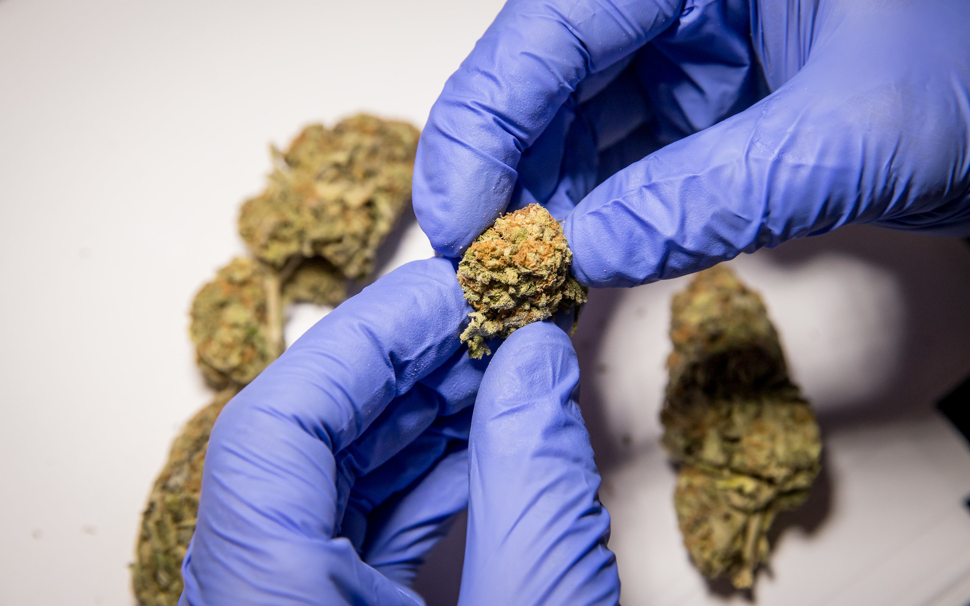 gloves hands inspecting cannabis flower in lab