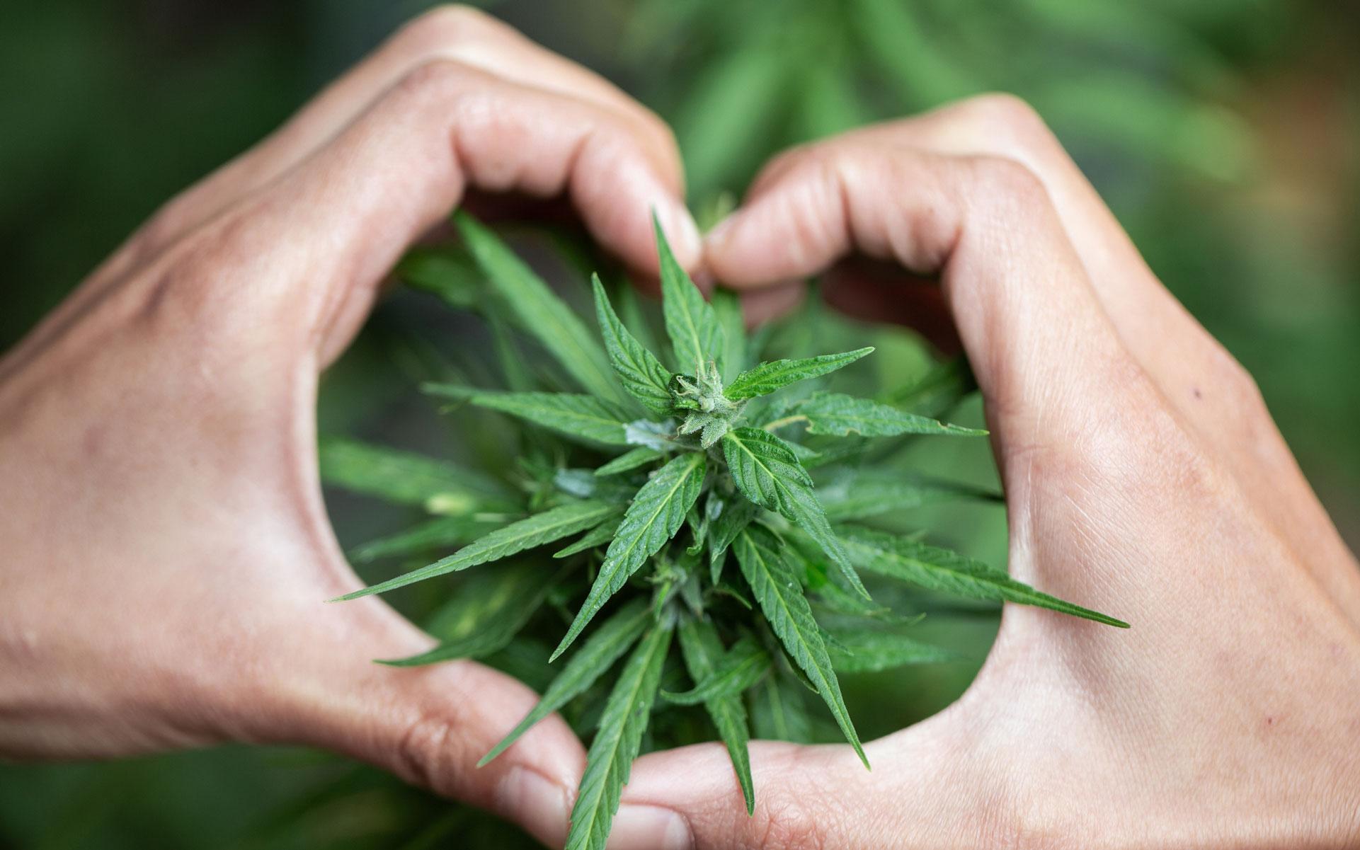 cannabis heart hand