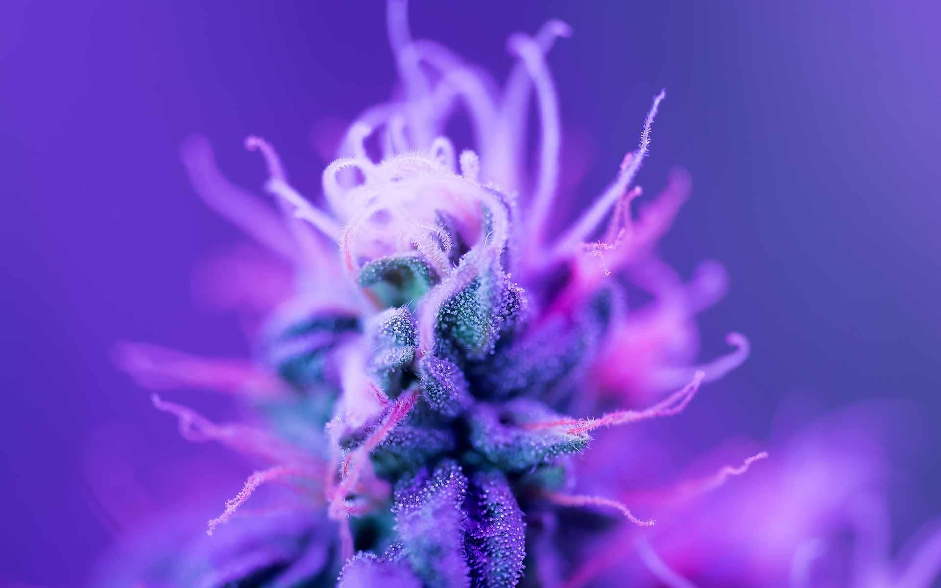 new cannabis strains, best marijuana strains