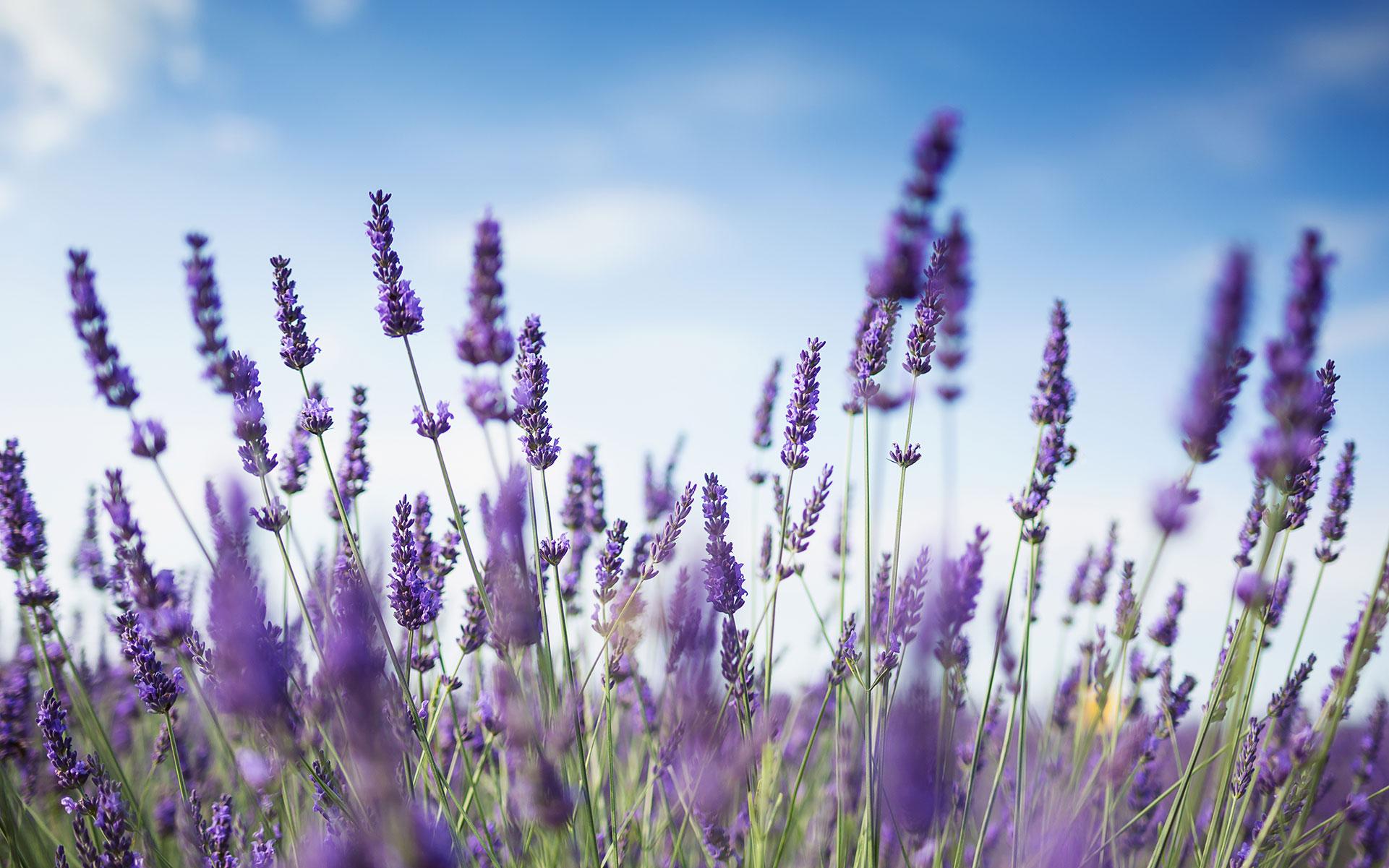 cannabis strains with floral flavors, linalool cultivar